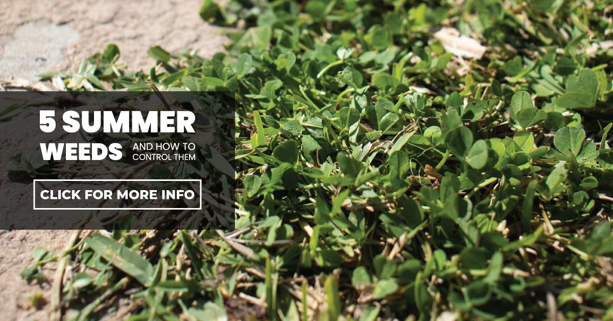5 Summer weeds and how to control them
