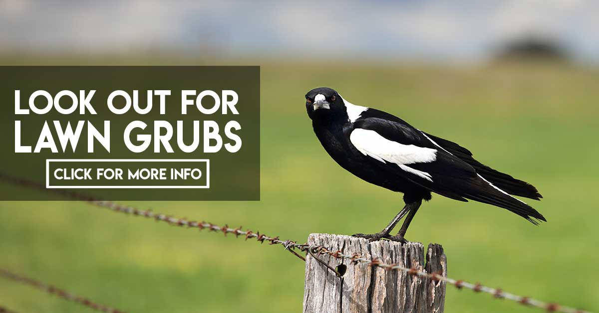 Magpie looking for grubs