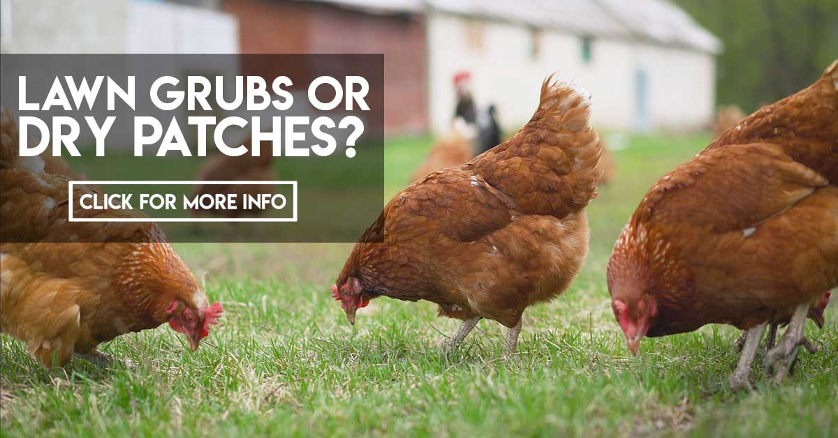 Lawn grubs or dry patches